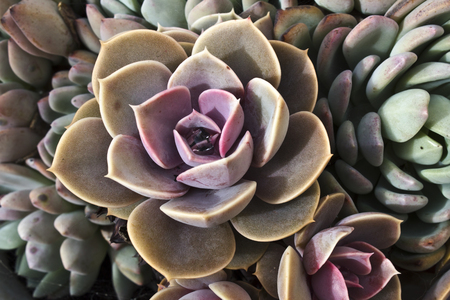 Photo of agave. colorful flover of succulent rosette.
