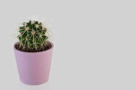 Cactus in the pot on white