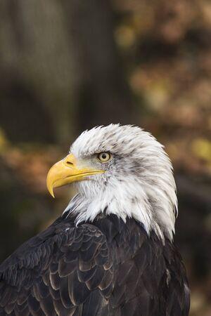an american bald eagle. Haliaeetus leucocephalus. Photo of proud bird being the emblem of the usa