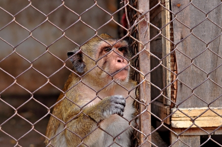feeling sad: Monkey feeling sad in cage