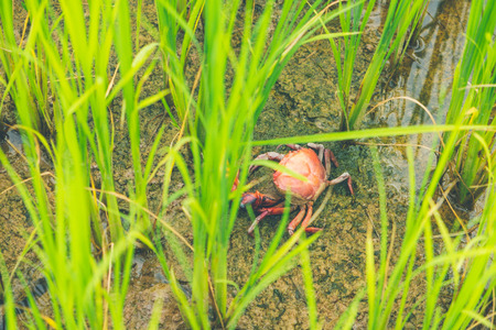 Ricefield crab (Freshwater crab) in Rice field thailand green rice farm and asian farmer in rainy season.
