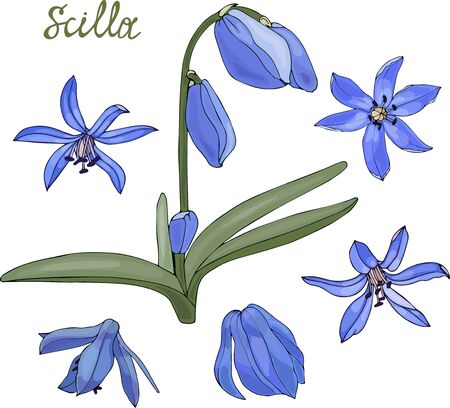 spring scilla flowers, set of flowers Illustration