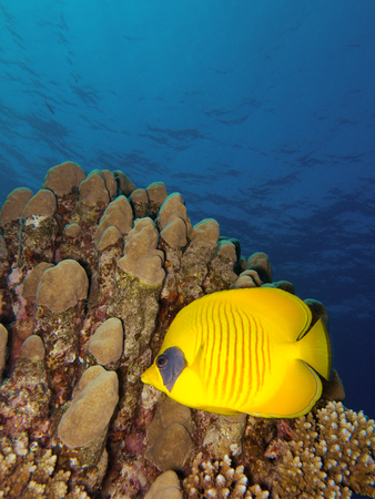 scubadiving: Butterflyfish