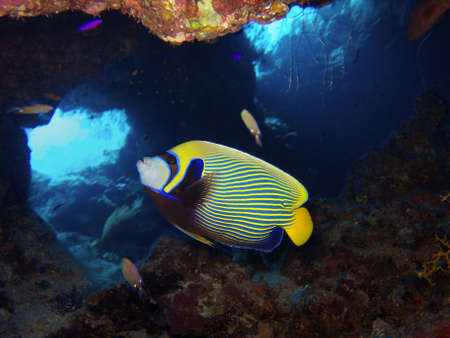 emperor: emperor angelfish Stock Photo