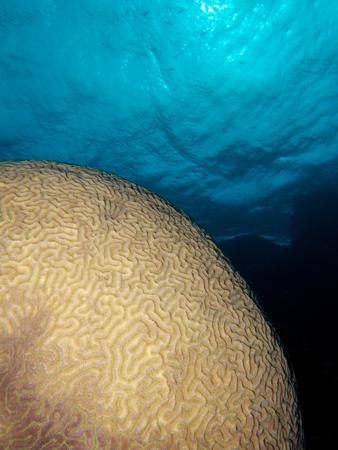 brain coral Stock Photo