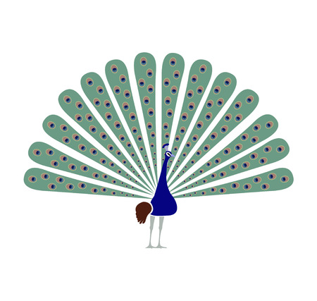 Peacock peafowl bird illustration