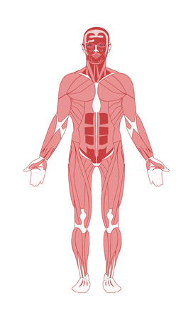 Human male adult muscular system vector illustration
