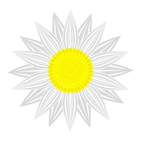 asteraceae: flower on white background