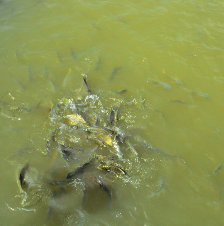 fish breeding: fish in the pond