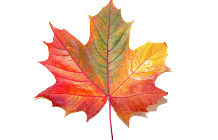 maple leaf on white background Archivio Fotografico