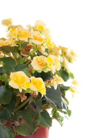 Begonia plant isolated on white photo