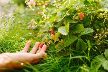 hands with fresh strawberries collected in the garden 写真素材