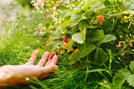 hands with fresh strawberries collected in the garden Banco de Imagens