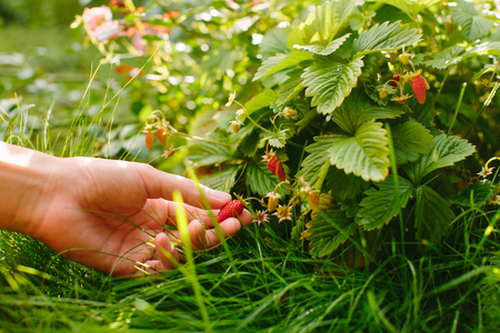 hands with fresh strawberries
