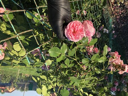 Pink roses from the hand in black gloves on the garden at home