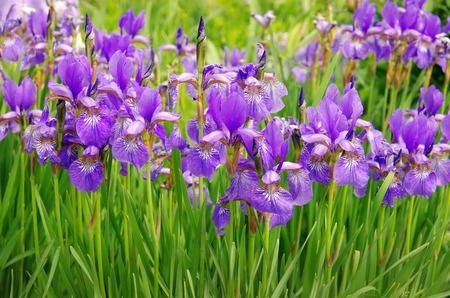flower bed: wiolet iris flowers