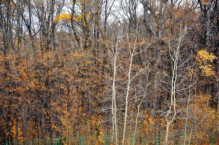 idyll: Autumn trees with yellow leaves