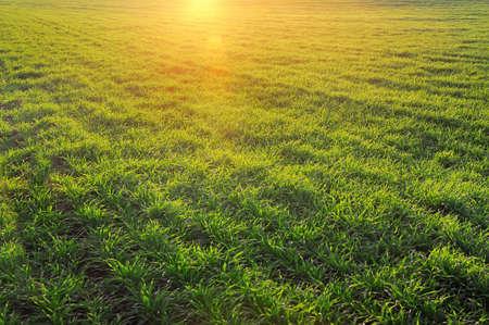 winter wheat: Green field with sunlight Stock Photo