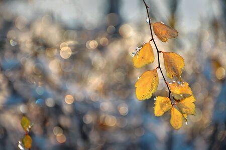 idyll: Autumn background with yellow leaves with drops and ice Stock Photo