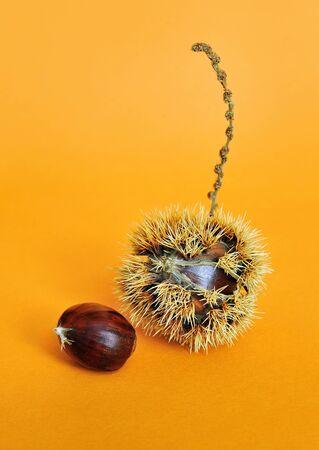 sativa: sweet chestnut fruit with seeds on orange background