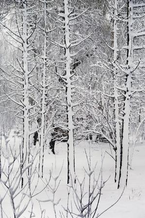 idyll: Trees in Winter Park