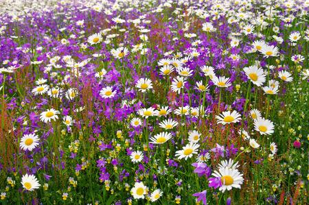 daisy field: daisy field with flower bells in the Carpathians mountains