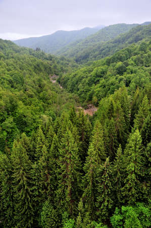 top view of the spruces forest in the mountains Stock Photo