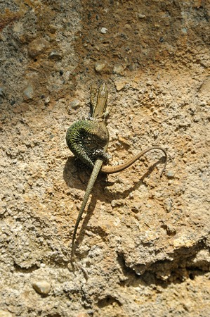 intertwined: Two lizards intertwined on background wall
