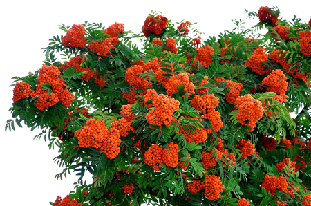Rowan tree on white background Banque d'images