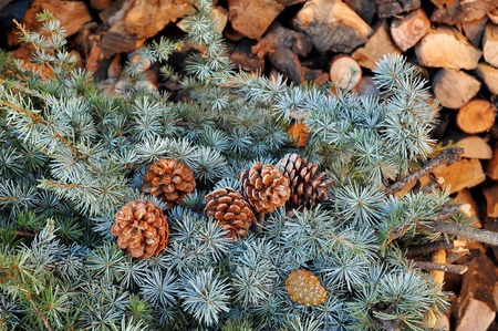 larix sibirica: Conifers branch with cones on the wood background Stock Photo