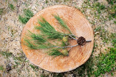 compiled: Pine green branch with cones on the stump