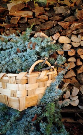 pine needles: wicker basket with branches of pine needles on a background of wood Stock Photo
