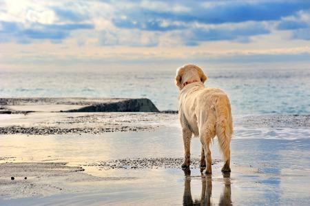 ojos tristes: joven propietario blanco Golden Retriever esperando en el paseo marítimo Foto de archivo