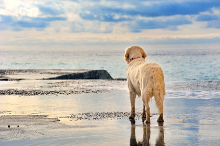 dog run: young white golden retriever  owner waiting on the seafront
