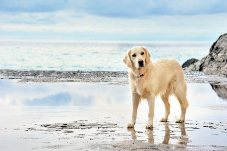dog run: white golden retriever on the seafront Stock Photo