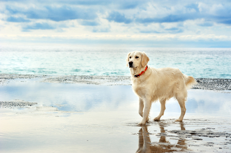 mountain dog: young white golden retriever stand waiting on the seafront