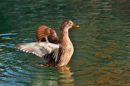 water wings: wild duck with raised wings and circles around water