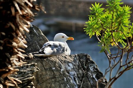 larus: adult seagull larus sits on the rocks  by the sea