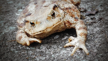 wart: big frog toad on gray background