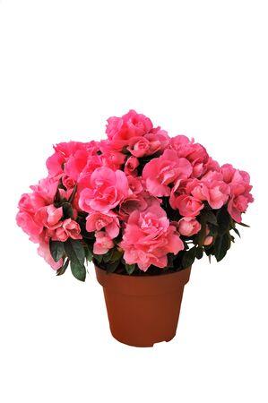 azaleas: pink azalea in a pot isolated white background