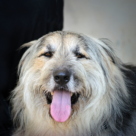 head of old long hairy english sheepdog Stock Photo