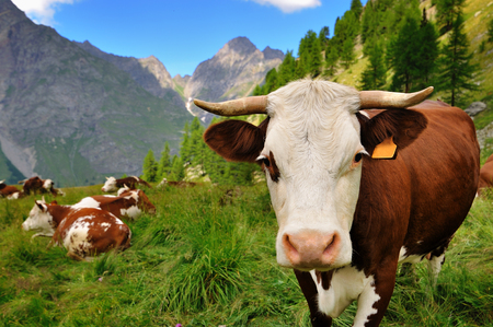 Cows in alpien agriculture farm in in Aosta Valley, Italy