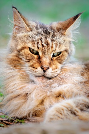 evil, scowl look old male Maine Coon Stock Photo