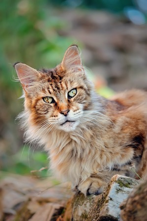 guardianship: Maine Coon cat with wild brush ear on outdoor background
