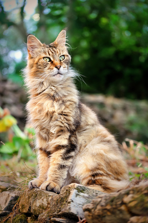 old male Maine Coon sits in the yard