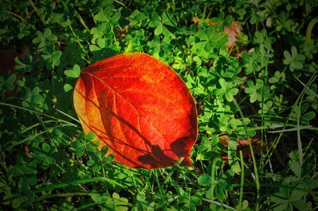 Colorful fall red leave of Persimmon tree on a background of green clover. Top view.