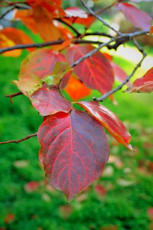 diospyros: Persimmon tree Diospyros Kaki red leaves on branch in autumn