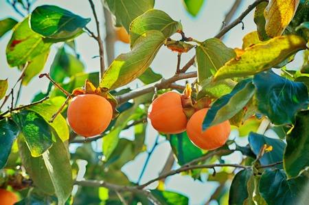 persimmon tree: Japanese persimmon tree orange ripe fruits kaki