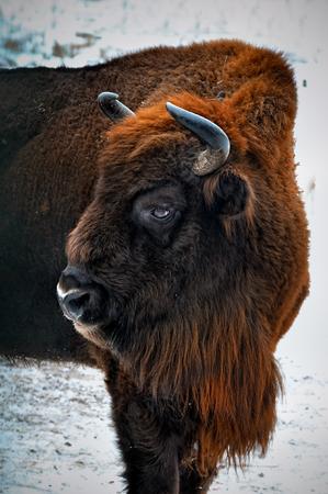 wildlife preserve: portrait of European bison in winter forest.