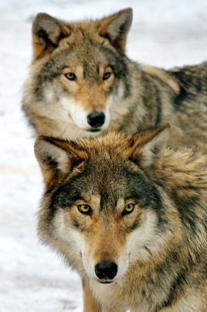 Two wild gray wolf in winter forest